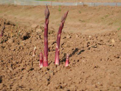 Purple_asparagus